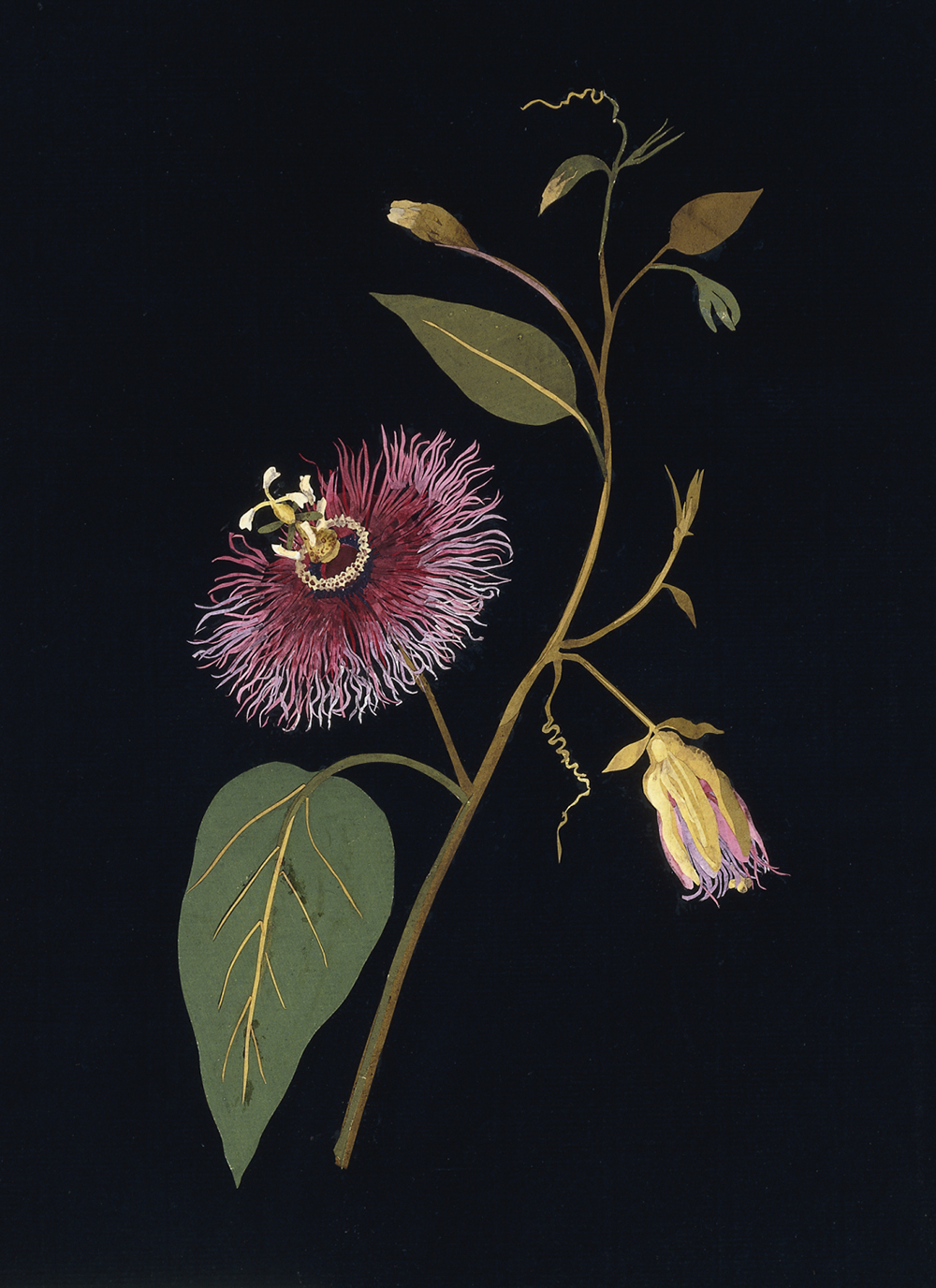 Mary Delany. Passiflora Laurifolia (Gynandria Pentandria). Collage of coloured papers, with bodycolour and watercolour, on black ink background, 1777.
