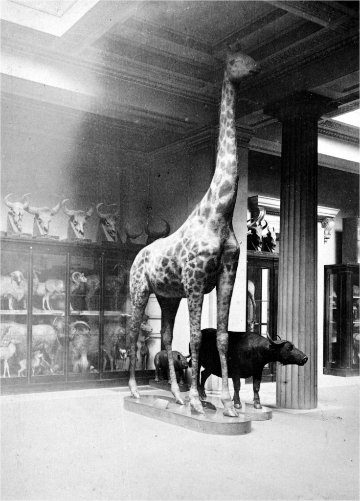 Faded black and white photo of a giraffe in the Central Saloon with various other mammals beside it and in cases behind it. The photo was taken by Frederick York in 1875.