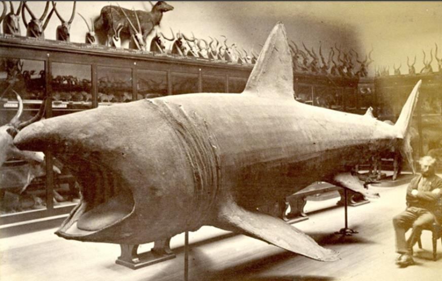 A faded black and white photograph showing a large shark in the Museum's former natural history gallery with an attendant sitting to the right of it. The photo was taken by Frederick York in 1875.
