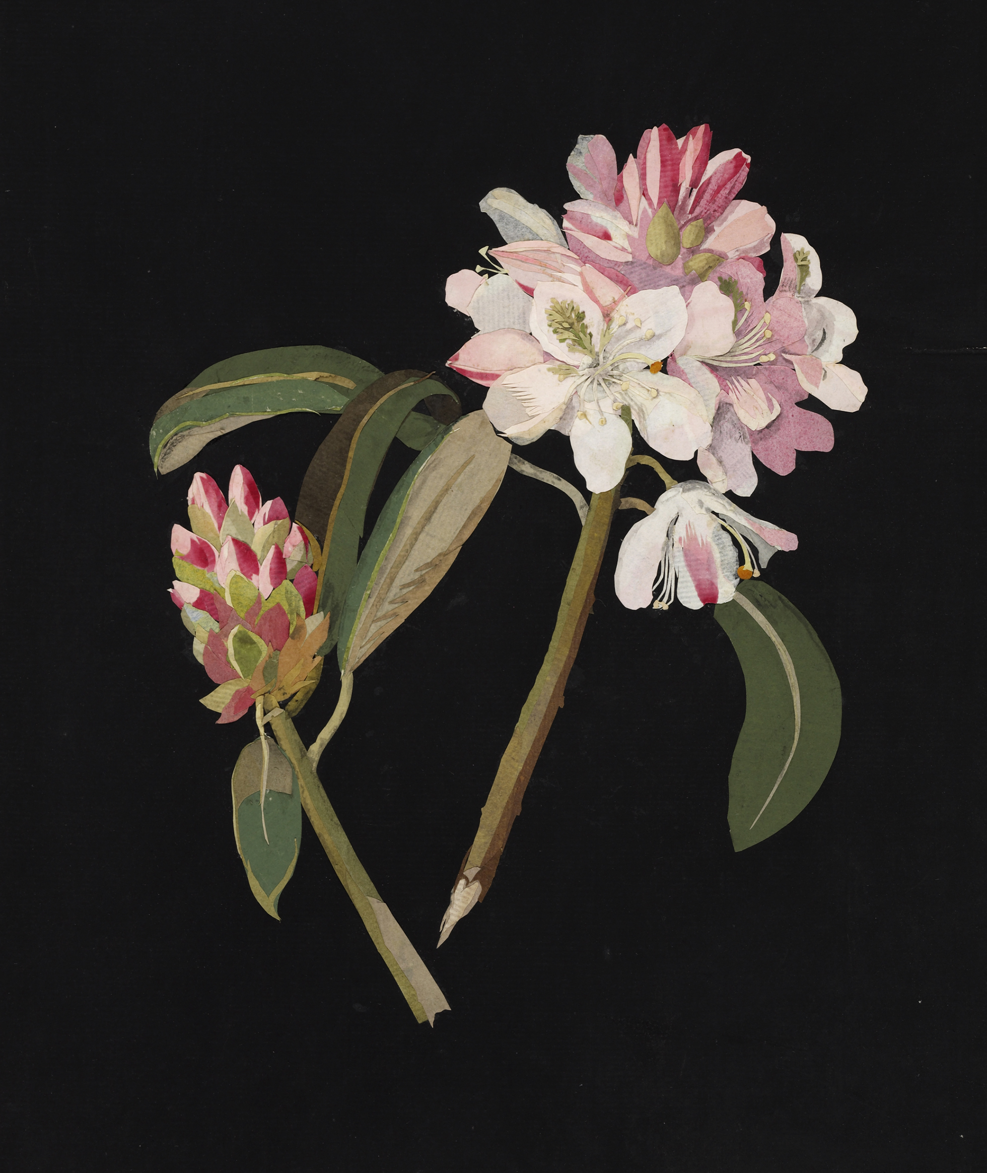Cut flower artwork of Mary Delany representing a rhododendron