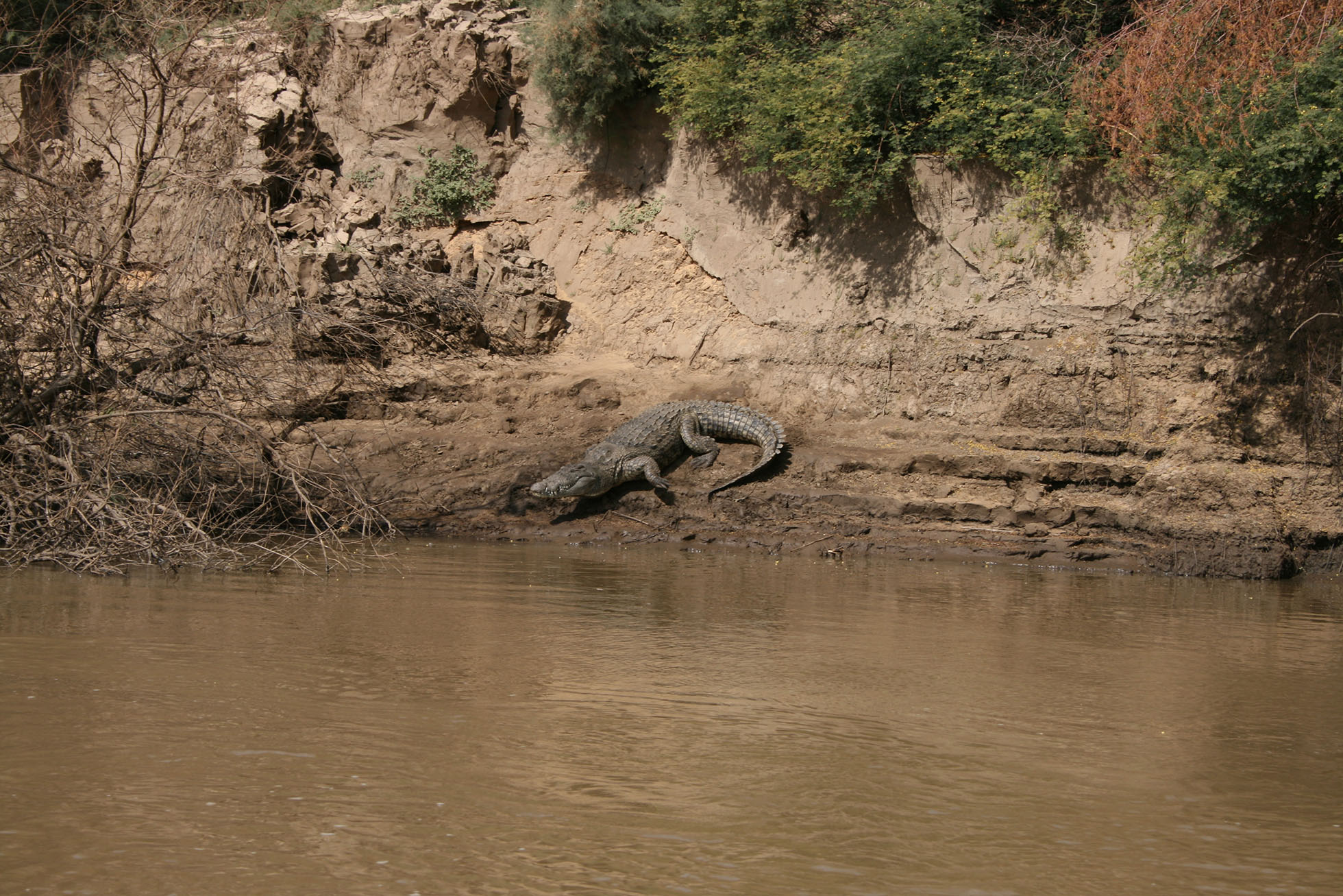 Photograph of a crocodile entering the river.