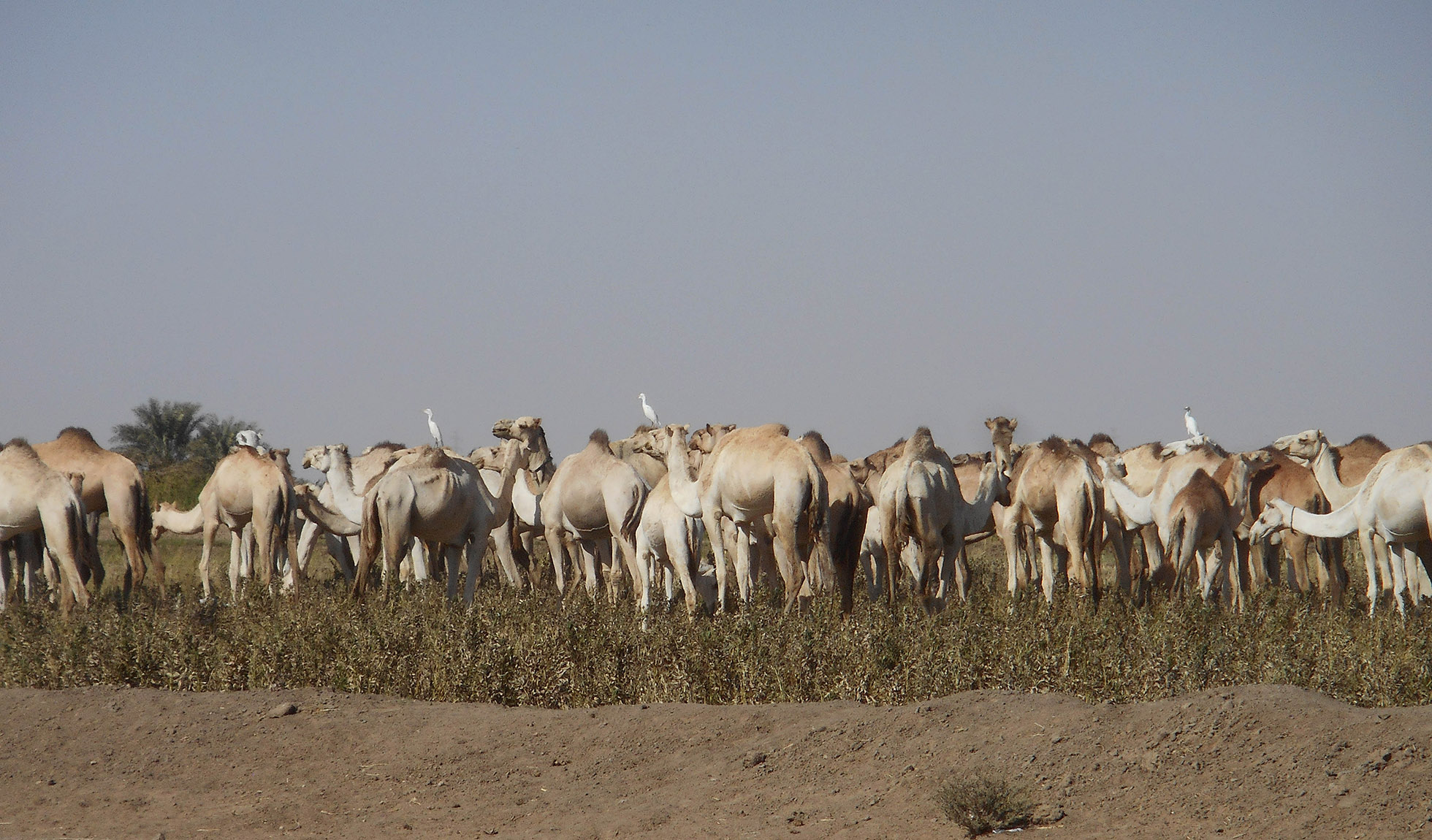 Photograph of a herd of camels grazing in a field. Some of the camels have egrets perched on their backs.
