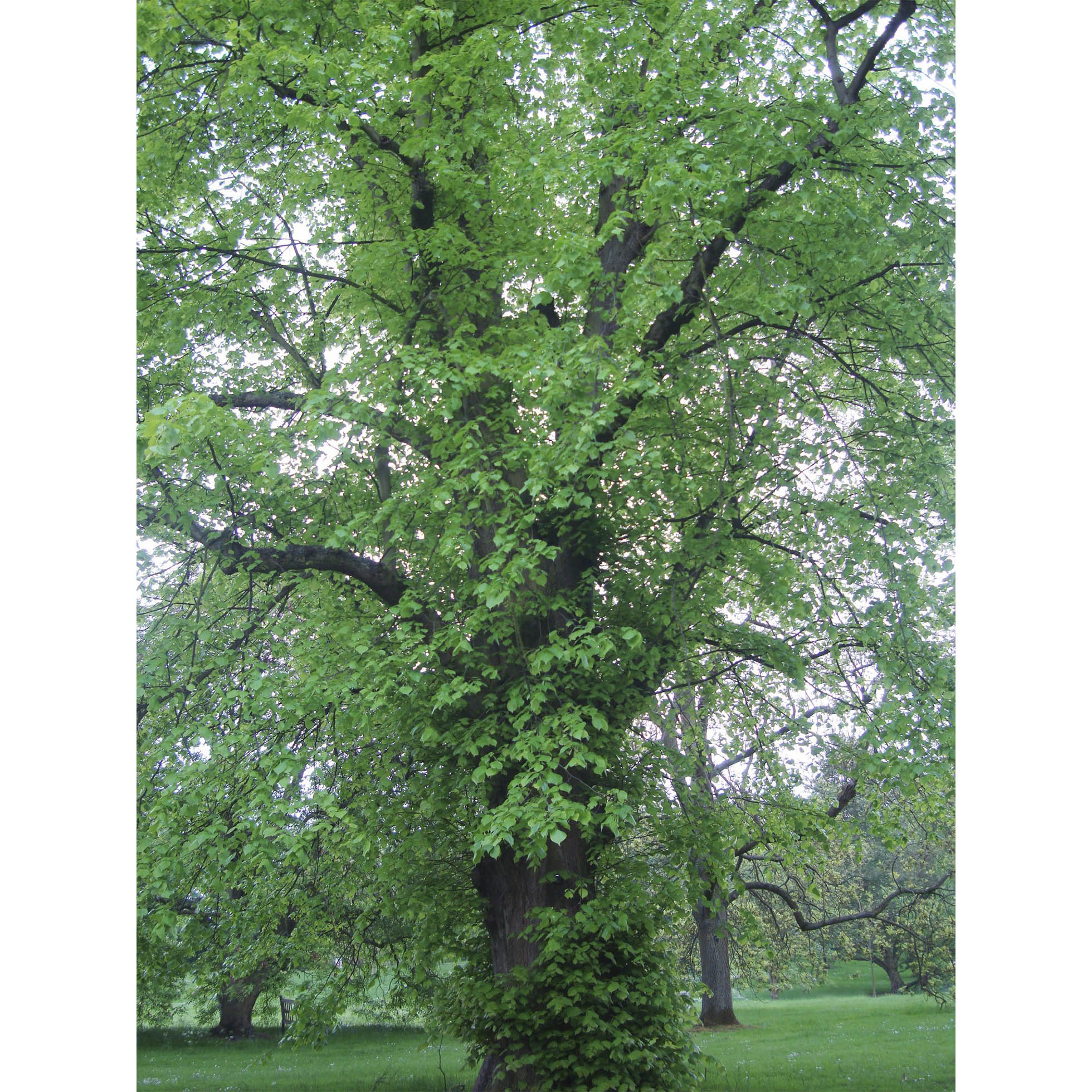 A photograph of a large Tilia lime tree, with bright green leaves and green grass growing around it.