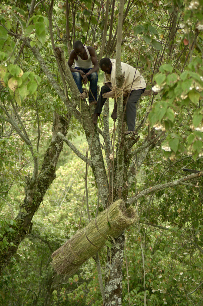 Two beekeepers pull a large beehive up into position while standing on the branches of a tree.