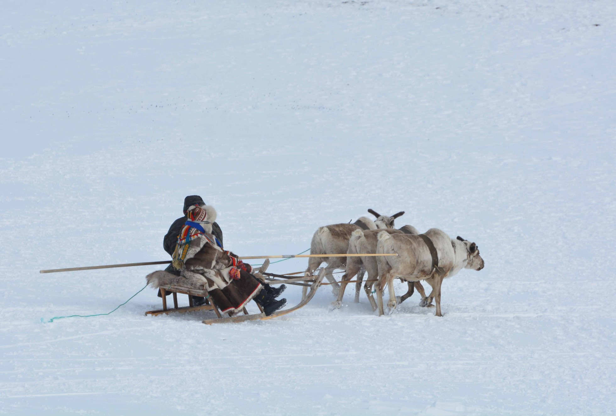 A photograph of two people sit on a sled being pulled by three reindeer across the snow.  The person closest to the camera partially obscures the other person on the sled. They wear a long fur parka.