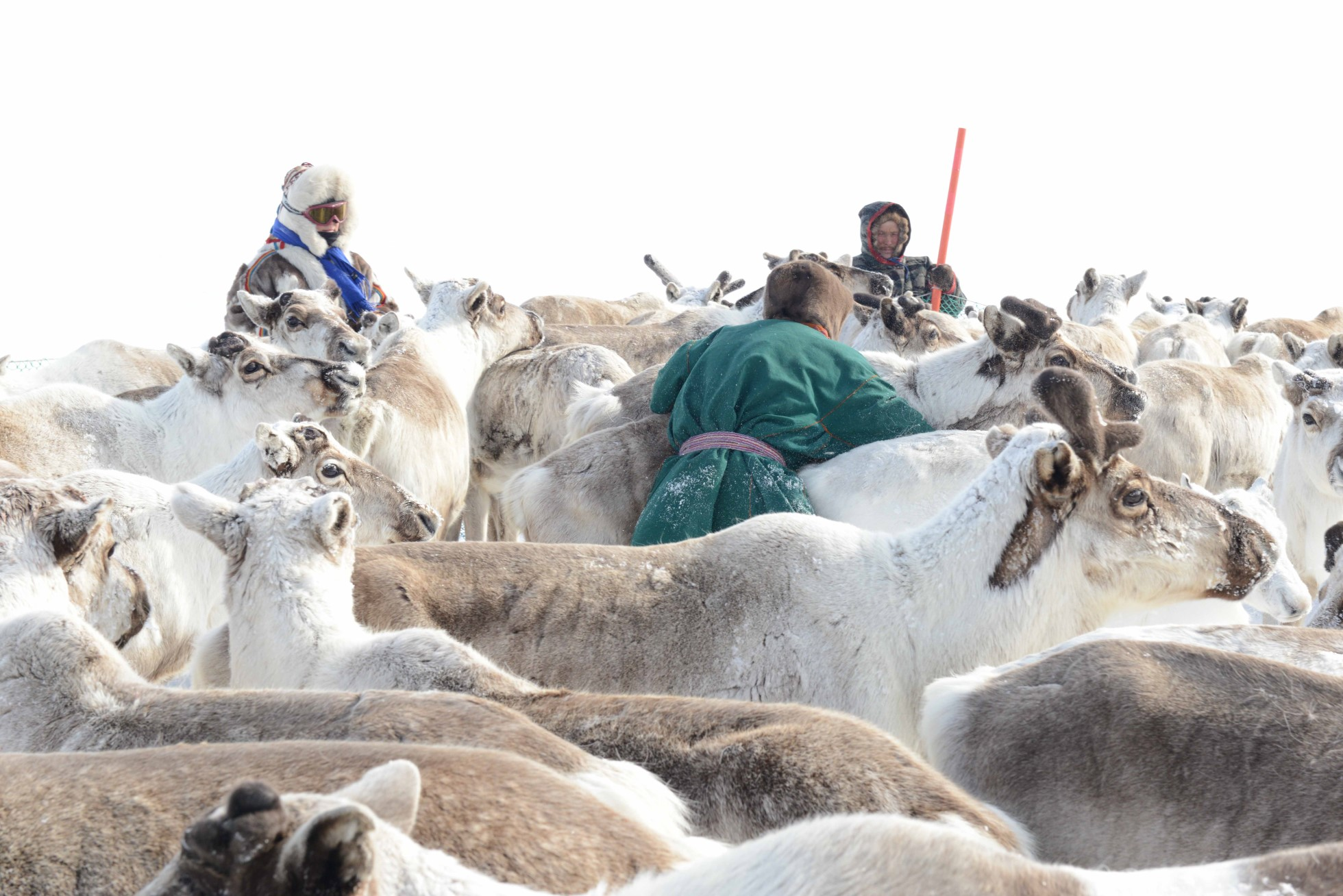 Photograph of a heard of reindeer all together. Three people stand amongst the tightly grouped reindeer. One wears a green jacket with purple belt and fur hat. Another wears a fur parka and hat. Another is visible in the background holding a red stick.