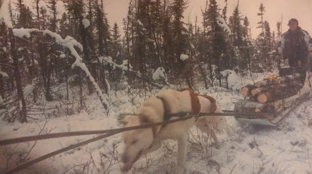 Photograph of a dog team (one dog is visible, the other having passed the camera), pulling sled carrying a man and some chopped wood.
