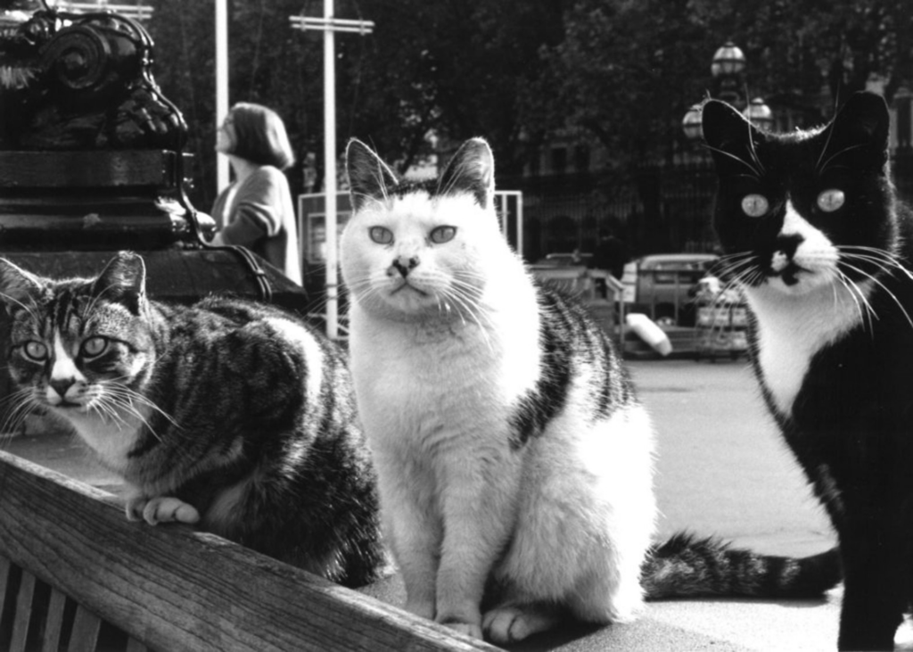 Black and white photo of three cats - Maisie, Pippin and Poppet - who formerly lived on the Museum's grounds.